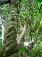 cipó banisteriopsis caapi